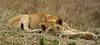 090 Lion KenyaTrip2013-01007