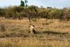 093 Lioness nursing 3 cubs KenyaTrip2013-01328