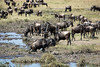 045 Wildebeast at water hole KenyaTrip2013-01641