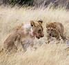 082 Lion cubs KenyaTrip2013-00655