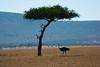 052 Ostrich KenyaTrip2013-01545