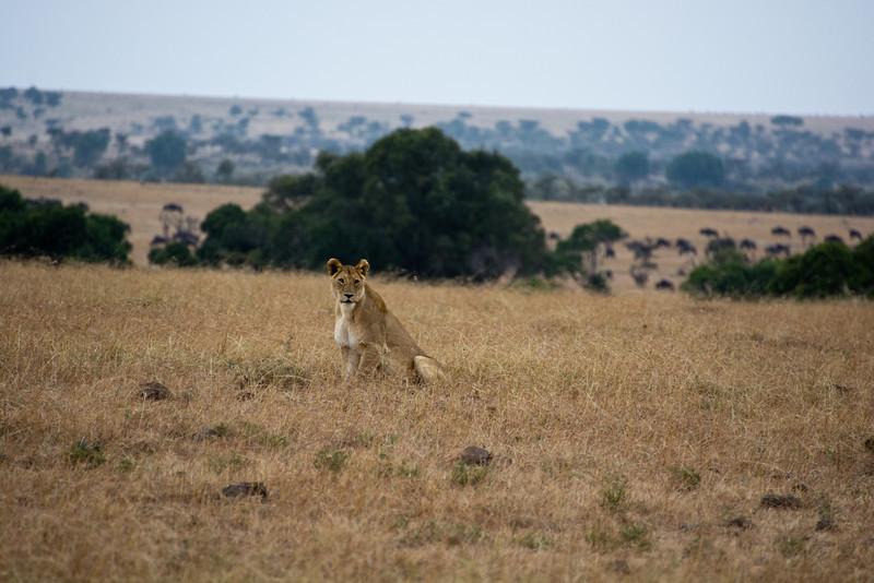 074 Lion KenyaTrip2013-00723