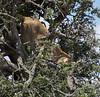 124 Lion leaving tree KenyaTrip2013-01771