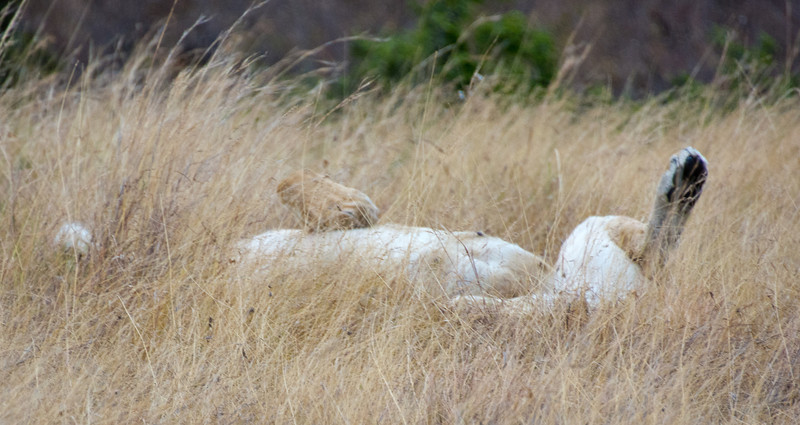 079 Lion KenyaTrip2013-00665