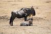 042 Wildebeast & baby KenyaTrip2013-00415