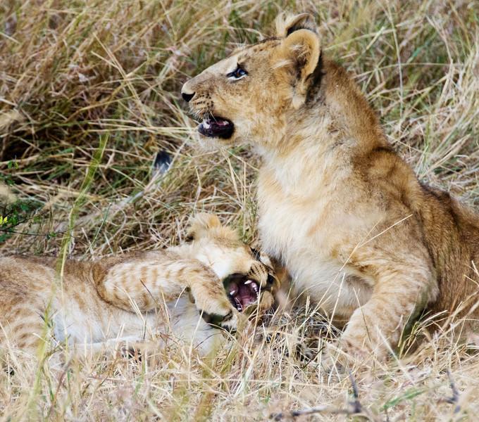 104 Lion cubs KenyaTrip2013-01438