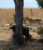 122 Lion diversion & Cape Buffalo KenyaTrip2013-01764