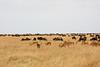 008 Wildebeast & Impala KenyaTrip2013-00973