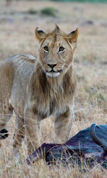 085 Lion & Wildebeast carcas KenyaTrip2013-00754