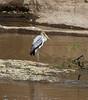 061 Stork KenyaTrip2013-02032