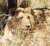 125 Lion out of tree KenyaTrip2013-01793