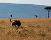 053 Ostrich & Giraffes KenyaTrip2013-01527