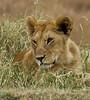 089 Lion cub KenyaTrip2013-00997