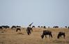 024 Wildebeast & Giraffe KenyaTrip2013-00813