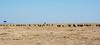 027 Wildebeast KenyaTrip2013-02452