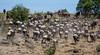 036 Wildebeast & Zebras KenyaTrip2013-01580