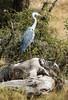 059 Heron KenyaTrip2013-01980
