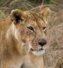 086 Lion KenyaTrip2013-00855