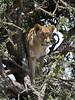 123 Lion leaving tree KenyaTrip2013-01765