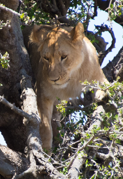 115 Treed Lion KenyaTrip2013-01709