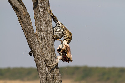 Bringing his impala kill down the tree