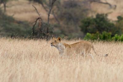Enesikiria lioness stalking impala