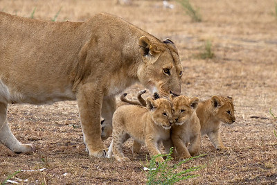 Lioness and her cubs