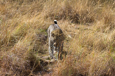 Here come the leopard!