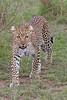 Leopard in Masi Mara