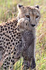Cheetah mother carrying young
