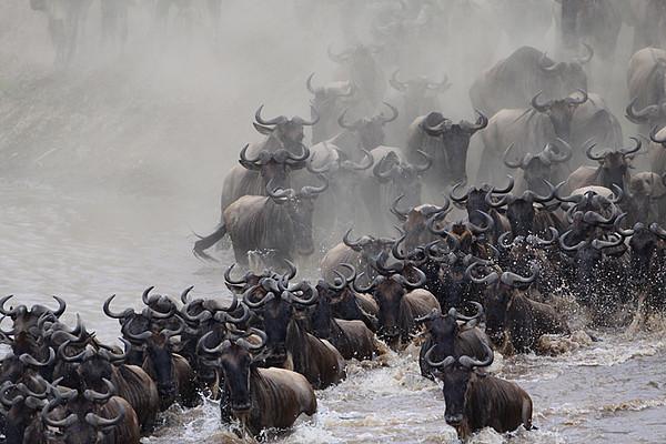 Wildebeest migration-crossing the Mara River
