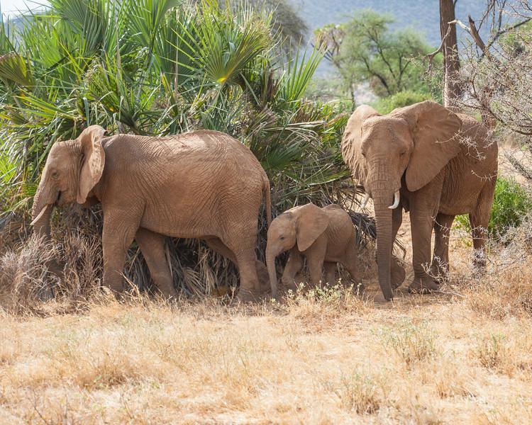 Elephant family, Samburu Game Preserve, Kenya