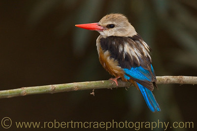 """Grey-headed Kingfisher"" - Award Winner"