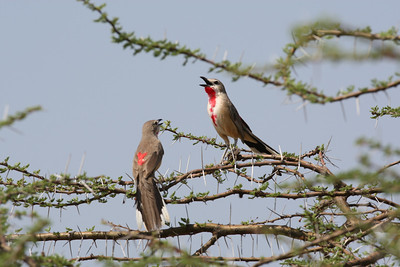 Rosy-patched Bush-shrikes duetting
