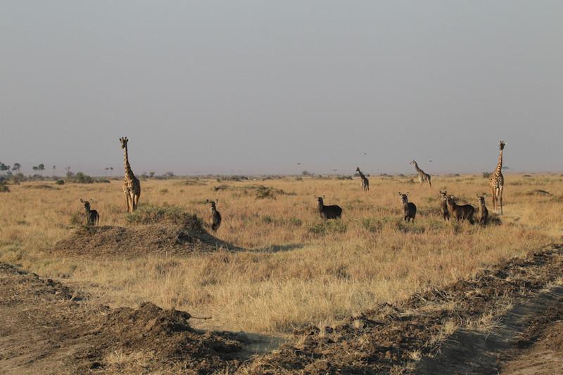 Masai Giraffe and Defassa Waterbuck watching a lion that had just made a kill