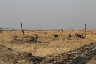 Masai Giraffe and Defassa Waterbuck watching a lion that had just made a kill