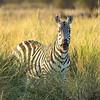 Common Zebra, Amboseli National Park, Kenya