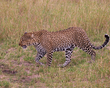 """""""Leopard on the Prowl"""" - Award Winner"""