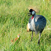 Crested Crane, mother and chick, Amboseli National Park, Kenya