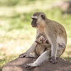 Black-faced Vervet Monkey mother with young, Amboselli National Park, Kenya