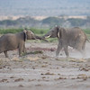 Young elephants at play, Amboseli National Park, Kenya