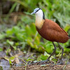 Greater African Jacana, Lilly-trotter, Amboseli National Park, Kenya
