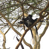 Black-and-white Colobus Monkey :