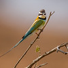 White-throated Bee-eater, Samburu Game Preserve, Kenya