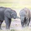 Elephant calves interacting, Amboseli National Park, Kenya
