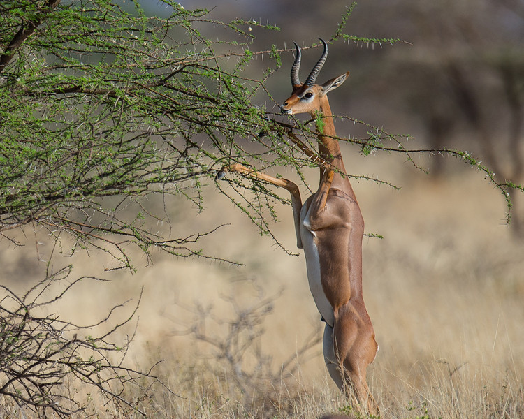 Gerenuk antelope feeding, Samburu Game Preserve, Kenya