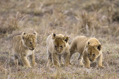 """Little Lions at Play"""