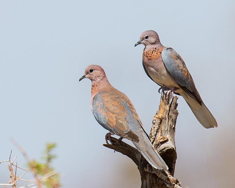 Palm Dove or Senegal Dove (Laughing Dove), Samburu Game Preserve, Kenya