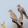 Palm Dove or Senegal Dove (Laughing Dove), Samburu Game Preserve, Kenya
