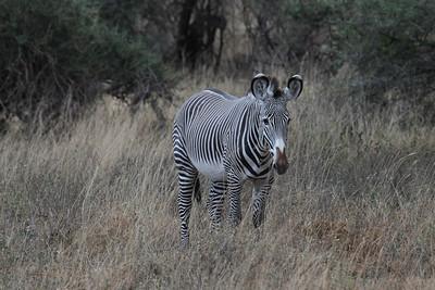 Gervy's Zebra
